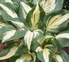 Lakeside Cupcake Hosta