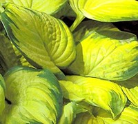 Stained Glass Hosta Picture