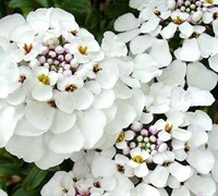 Masterpiece Candytuft Picture
