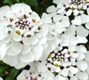 Masterpiece Candytuft