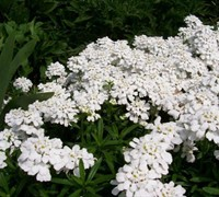 Snowflake Candytuft Picture