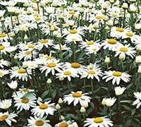 Snowcap Daisy Picture