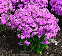 Forever Pink Phlox Picture