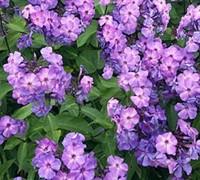 Blue Paradise Garden Phlox Picture