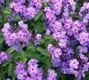 Blue Paradise Garden Phlox