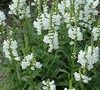 Miss Manners Obedient Plant