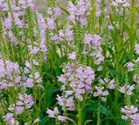Pink Manners Obedient Plant Picture