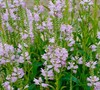 Pink Manners Obedient Plant
