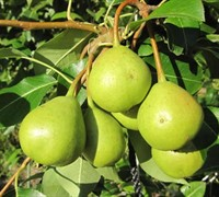 Orient Pear Picture