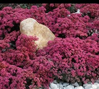 Dazzleberry Sedum Picture