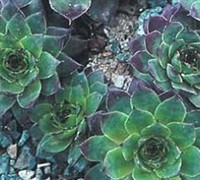 Carmen Hens And Chicks Picture