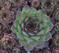 Silverine Hens And Chicks Picture