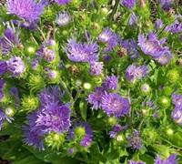 Peachie's Pick Stokesia Picture
