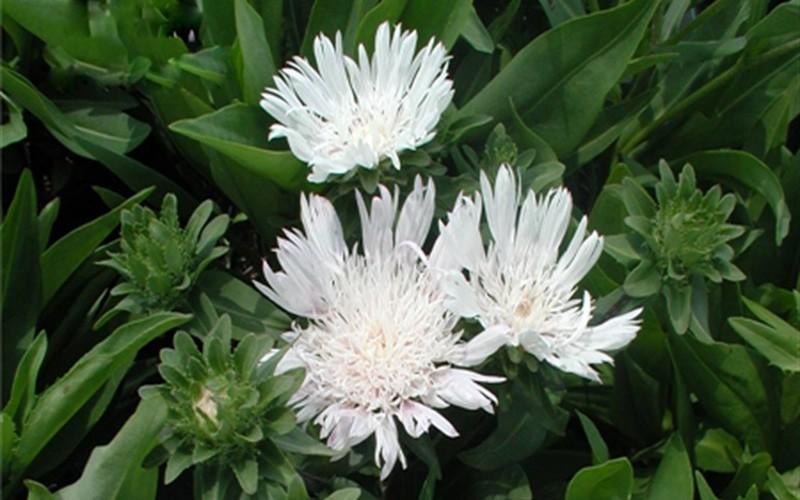 White Surprise Stokesia