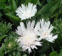 White Surprise Stokesia Picture