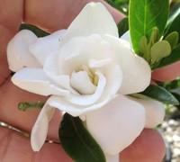 Jubilation Gardenia Picture