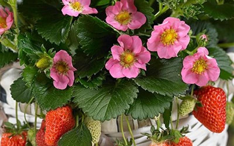 Gasana Strawberry
