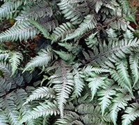 Red Beauty Painted Fern Picture