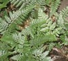 White Rabbit's Foot Fern