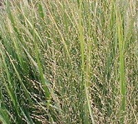 Northwind Switch Grass Picture