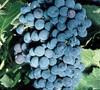 Vineyard SUNNY