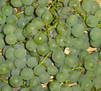 Niagra Fox Grape Picture