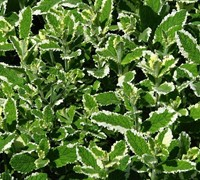 Variegated Pineapple Mint Picture