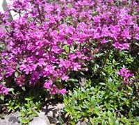 Red Creeping Thyme Picture