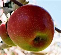 Old Fashioned Winesap Apple Picture