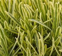 Platinum Blonde English Lavender Picture