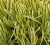 Platinum Blonde English Lavender