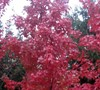 Brandywine Maple