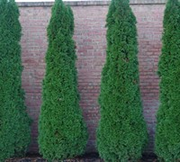 Degroots Spire Arborvitae Picture