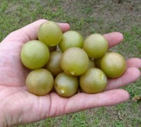 Fry Muscadine Picture
