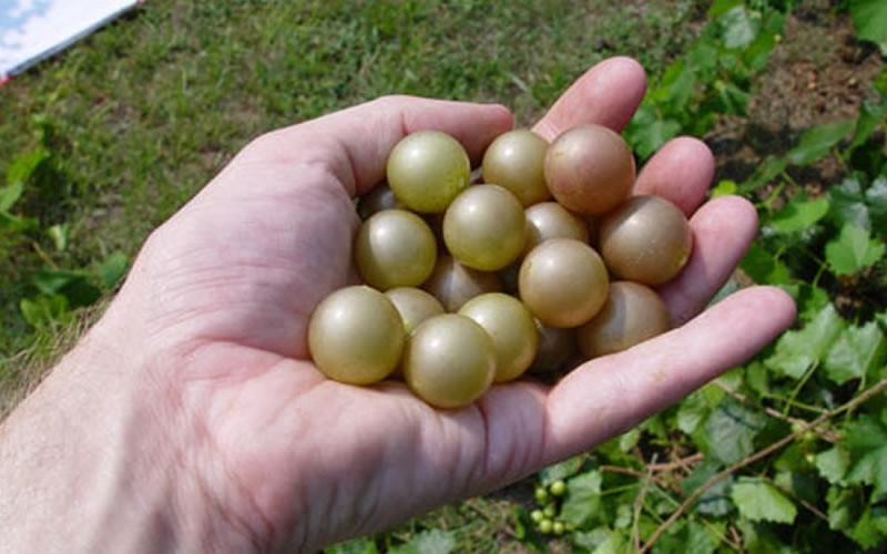 Magnolia Muscadine Picture