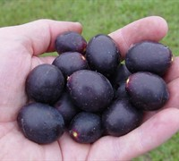 Southern Home Muscadine Picture