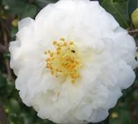Mine No Yuki Camellia Sasanqua Picture
