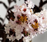 Delta Moonlight Crape Myrtle Picture