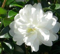 Bride October Magic Camellia Picture