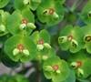 Tiny Tim Euphorbia