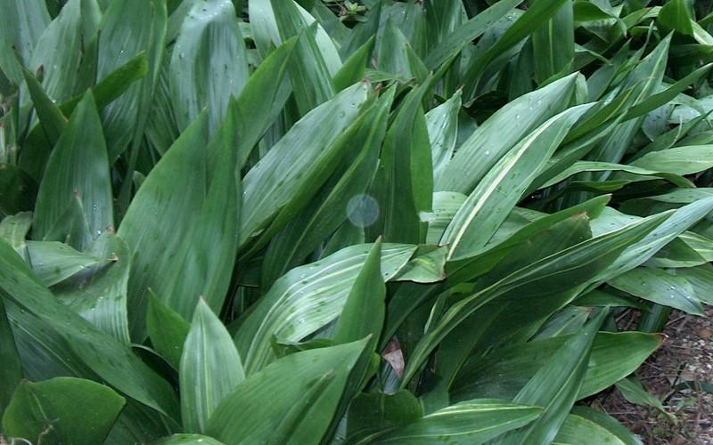 Cast Iron Plant Picture