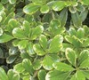 Mojo Dwarf Variegated Pittosporum