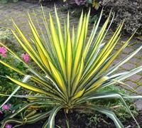 Color Guard Yucca Picture