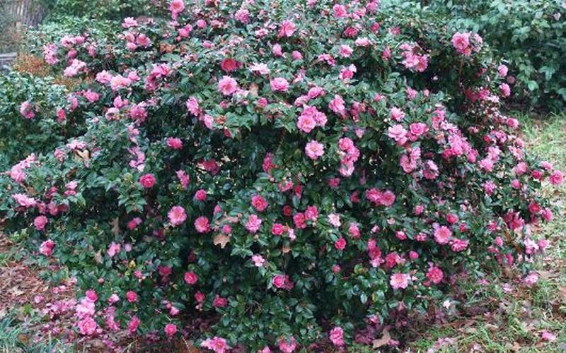 Shishi Gashira Camellia Picture