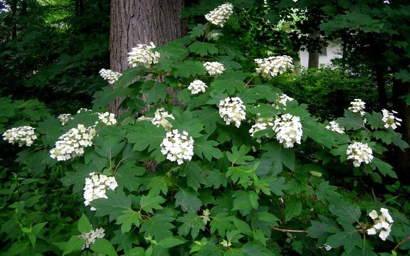Oakleaf Hydrangea Picture