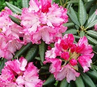 Southgate Rhododendron (Series) Picture