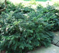 Yewtopia Plum Yew Picture