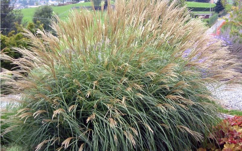 Adagio dwarf maiden grass picture gardenality for Maiden grass