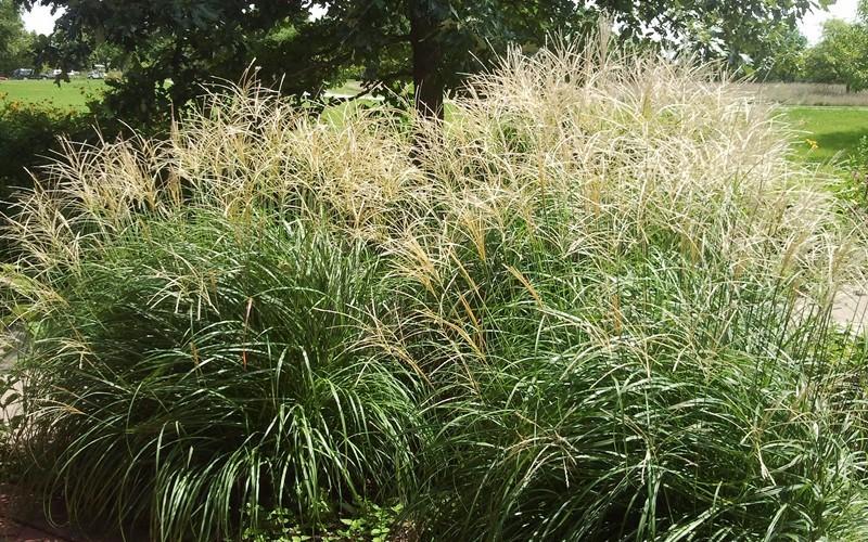 Adagio Dwarf Maiden Grass Picture