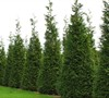 Steeple Chase Arborvitae Picture